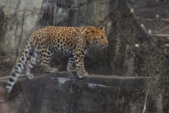 Amur Approaching Prey