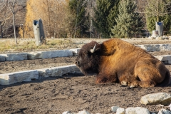 Basking Bison