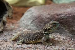 Leering Lizard