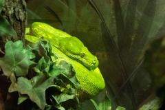 Lemon-Lime Python
