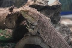 Looky-Loo Lizard