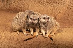 Menage-a-Meerkat