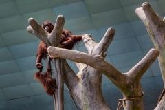 Orangutan Oversight