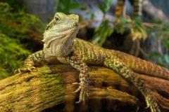 Reclining Reptile