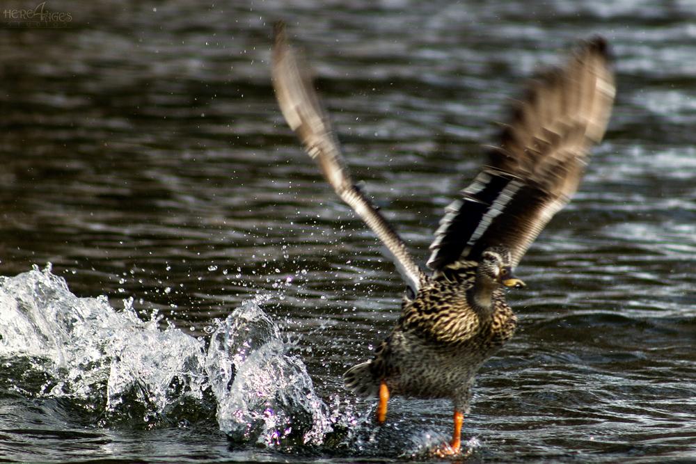 Water Walker - Duck taking flight